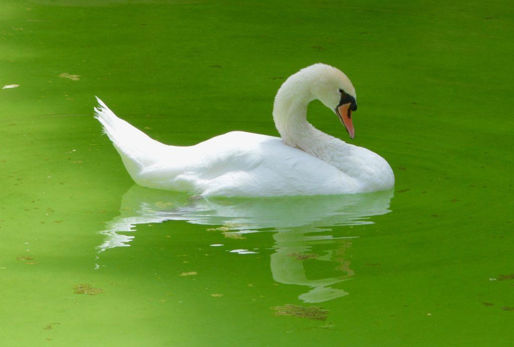 Swan Reflection by Matthew Burford